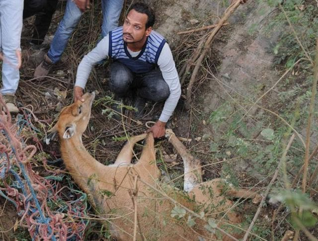 Members of forest department rescue team rushed the injured nilgai to veterinary hospital near army cantonment area on Patiala-Sangrur road on Tuesday.