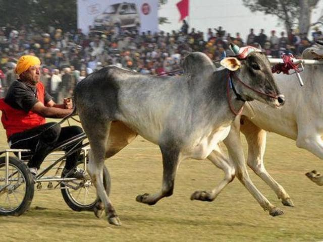 The Centre is set to allow popular bull-taming sport Jallikattu and a few other bullock-cart races in 2016, with environment minister Prakash Javadekar saying that the government would let such cultural practices continue while ensuring that animals were not subjected to cruelty.