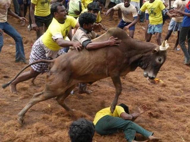 Prospective bull tamers tackle a raging bull at the bull taming festival called Jallikattu in Alanganallur, about 575 kilometers (359 miles) south of Chennai.