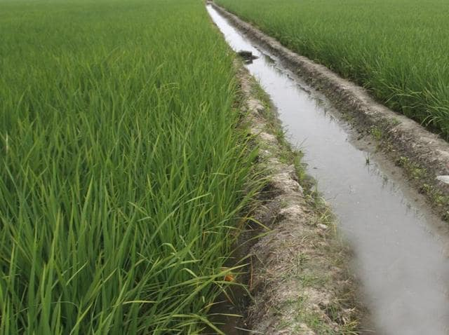 Punjab 'emptying' reservoirs to grow water-guzzling rice