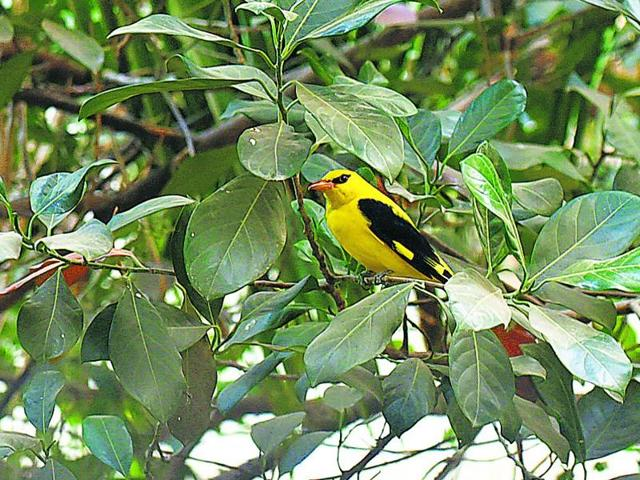 Eurasian Golden Oriole or Golden Oriole, a migratory bird, was spotted in the city on Thursday.