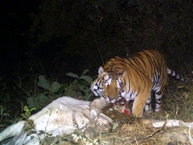 Tiger eating its kill at Bangli village in Shajapur district.