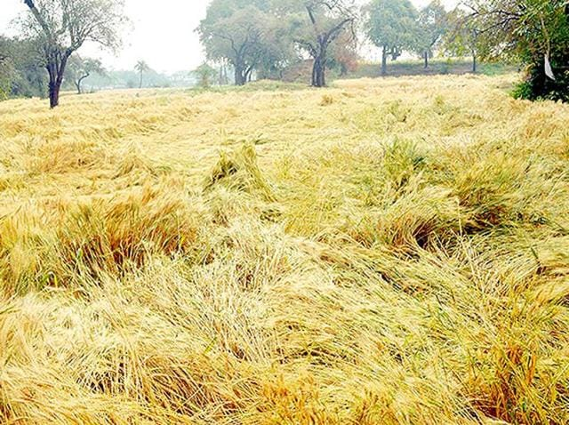 Punjab agriculture department is going to launch a campaign to kill rats across the state to protect rabi crops.