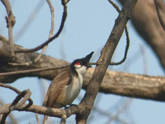 A Red-whiskered bulbul at Jind Deputy Commissioner's residence.