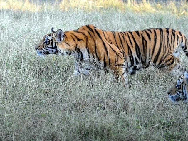 At least two tigers and three cubs from Ratapani have reached close to Bhopal over the past four months, including an adult cat which wandered into a college campus.