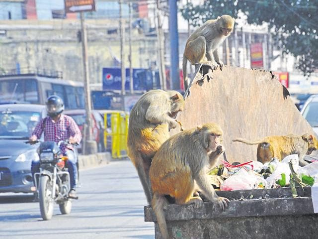 People feed monkeys as they believe primates are the living representatives of Hindu god Hanuman.