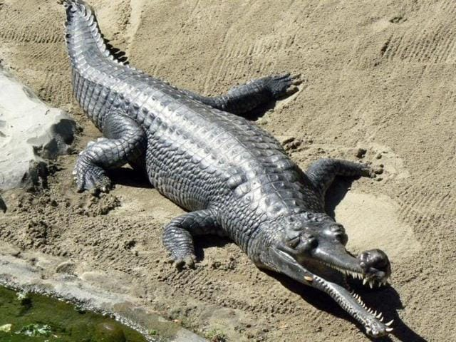The nine-year-old sub-adult female gharial was released in the Gandak river near Valmiki Tiger Reserve