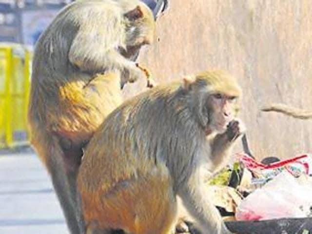 A senior forest official has said that monkeys in the hill state of Uttarakhand might be ailing with tuberculosis and if the disease remains unchecked they could become a serious threat to humans in the state
