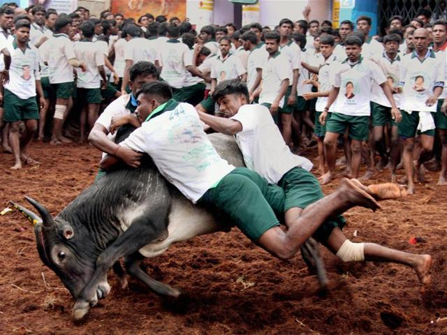 File photo of participants trying to tackle a bull during the annual Jallikattu in 2007.