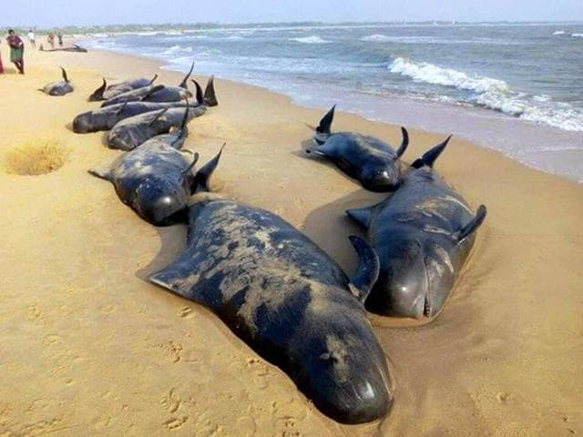 Despite rescue efforts, over 30 short-finned pilot whales died after over 120 have washed ashore on Tamil Nadu coast near Tuticorin.(PTI)