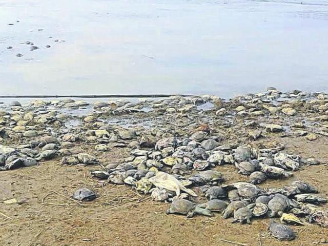 Dead tortoises at the Massanjore dam in Dumka on Thursday.