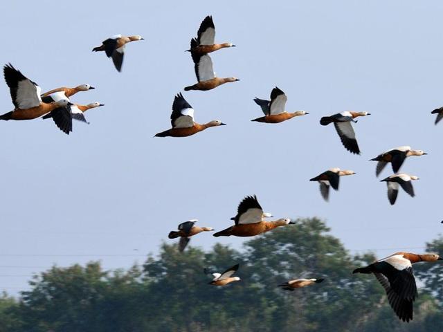Migratory birds,Rupnagar,pallas's gull species