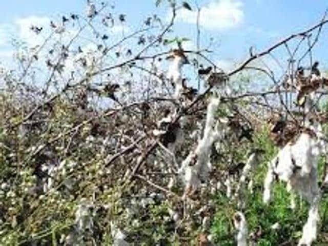 whitefly attck,farmer,Mansa