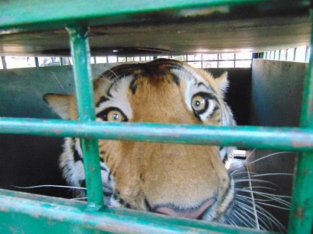 Forest department sources said that the natural prey base for tigers has not been healthy at Ratapani. Therefore, tigers go hunting for cattle in nearby villages.