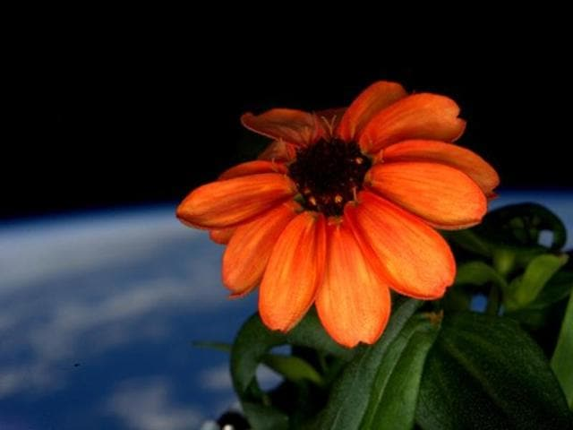 US astronaut Scott Kelly tweeted a photograph of an orange zinnia, which has flowered on the ISS.