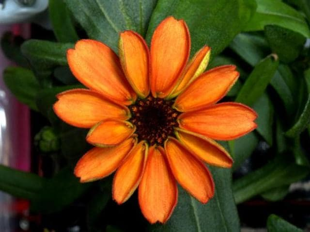 A photo taken from Nasa astronaut Scott Kelly's Twitter handle shows the bright orange zinnia that has blossomed aboard the International Space Station.