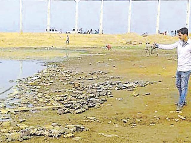 Dead tortoises at Massanjore dam in Dumka.