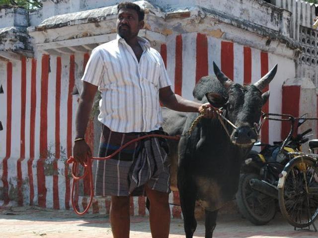 Jallikattu,Bull taming,Tamil Nadu