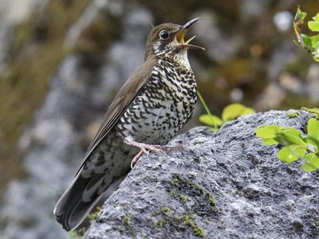 The Himalayan Forest Thrush is the fourth new species of bird to be discovered in independent India.