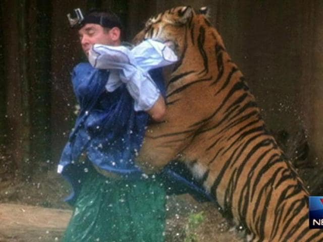 A witness captured the moment the tiger mauled its trainer at Australia Zoo yesterday. (Channel Seven)