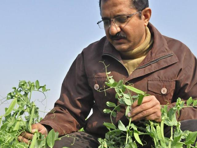 Dr RK Dhall showing THE new variety of pea crop at PAU in Ludhiana.