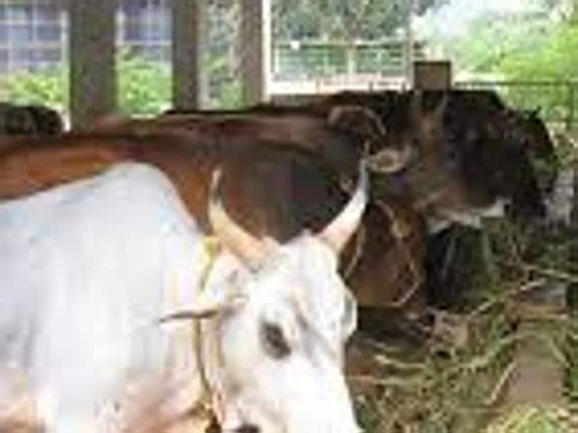 Cow sanctuary,Bikaner,Rajasthan