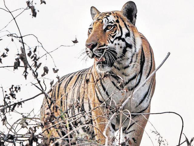 Jharkhand news,Palamu tiger reserve,Royal Bengal Tigers