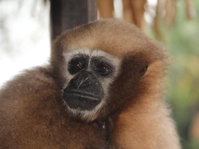 Assam,Tinsukia,Hoolock Gibbon Day