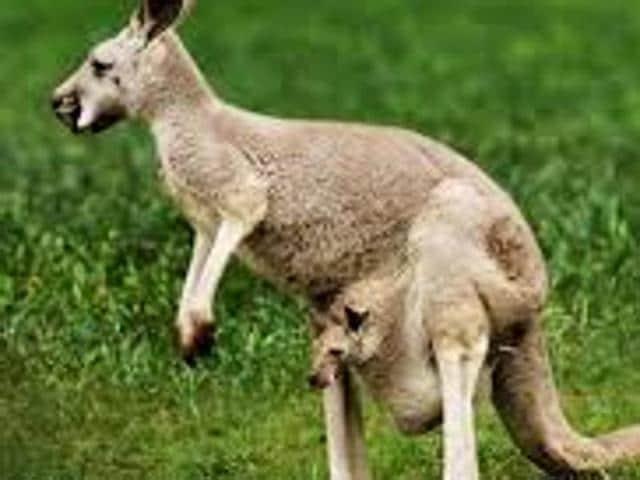 Kangaroo,bomb,Melbourne