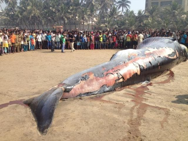 A 35 feet long dead whale washed ashore on Thursday night at Mumbai's Juhu beach.