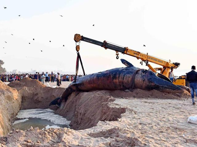 A 35-feet-long dead whale is being lifted by cranes at Juhu Chowpati in Mumbai.