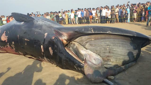 A 35-foot-long dead whale washed ashore at Mumbai's Juhu beach on Thursday night. Late night joggers discovered the mammal and informed the police, who notified the forest department.