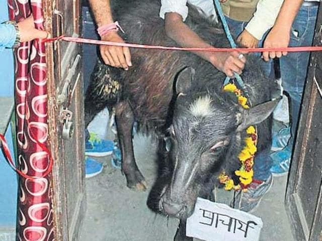 Student union office of GCCK was inaugurated by a buffalo as a mark of protest against college administration.