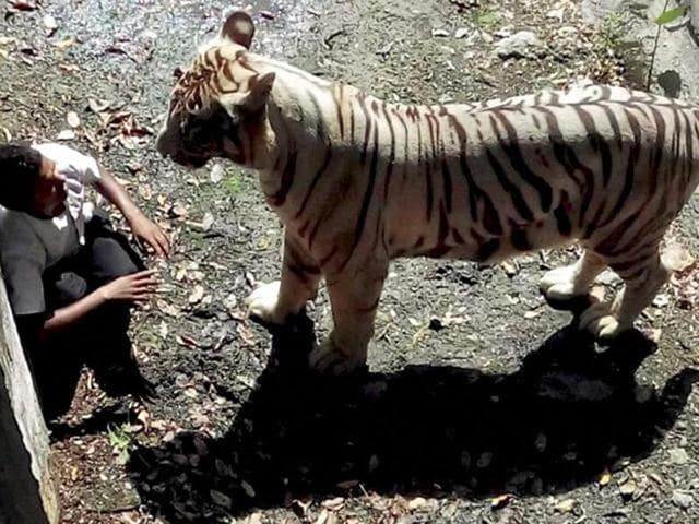 A white tiger attacked and killed a young man who appeared to have jumped over a barricade into an enclosure at the Delhi zoo.