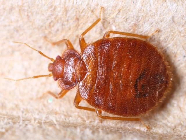 Bedbugs,Blood sucking,Insecticides