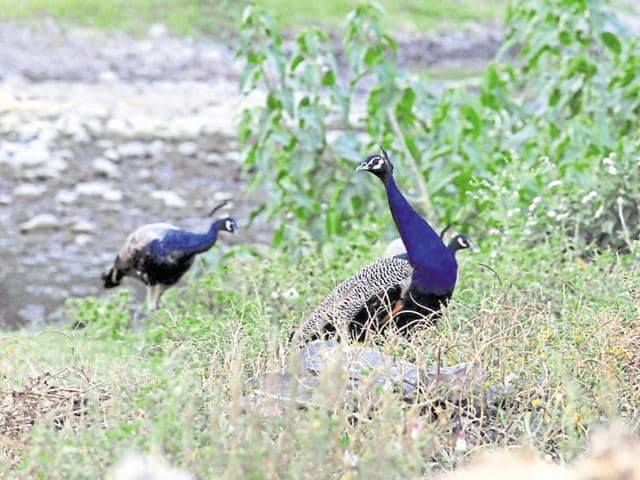 Killing a peacock can attract imprisonment upto seven years and a fine not less than Rs 10,000.