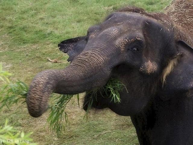 This is the first incident of an elephant killing a tourist in Thailand since August.