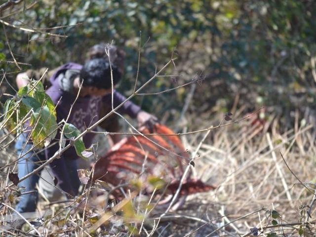 vulture,Himalayan griffon vultures,Morni