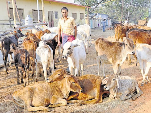Microchip by microchip, Punjab plans to fight cattle menace