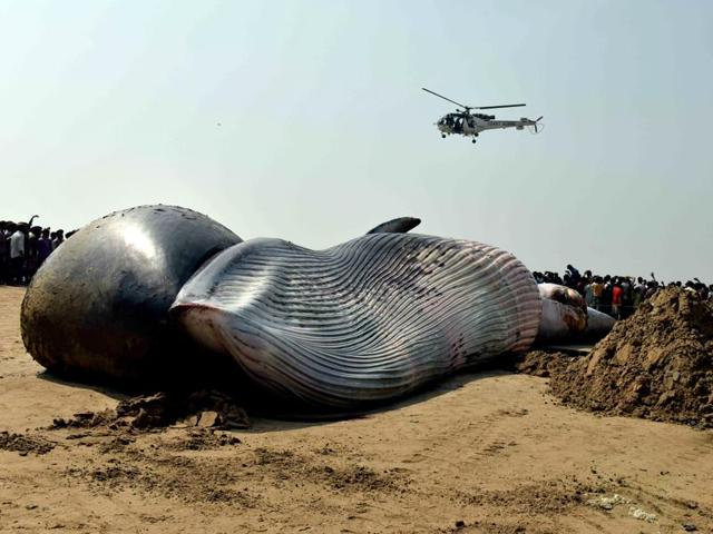 Dead whales India,Dead whale Odisha,Whale washed ashore