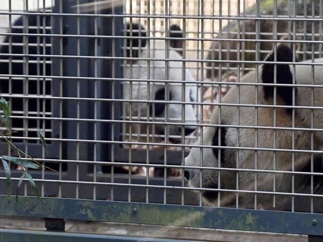 Male giant panda RiRi (R) and female giant panda Shin Shin (L, rear) walking in their enclosure at the Ueno Zoo in Tokyo..