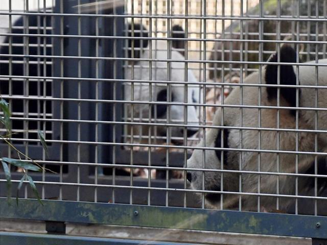 Get a room! Tokyo zoo's pandas given some privacy to try for a baby
