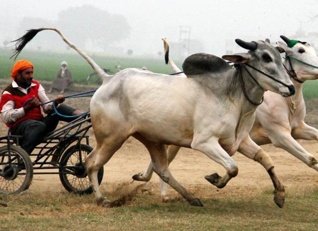 A participant during a bullock cart race at Kila Raipur Sports Festival in Ludhiana.