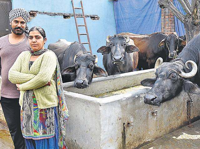 Gurvinder Kaur, a graduate from Rupnagar, feeding buffaloes. She, with her family, runs a commercial dairy in Kohara village, Ludhiana.