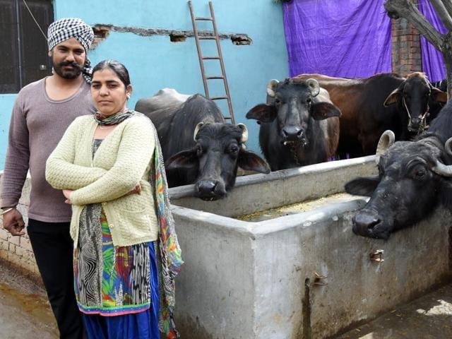 Bull market: Entrepreneur Gurvinder Kaur with her husband, Amanpreet Singh, and the prized Rs 1.25-lakh buffalo (right) at Kohara near Ludhiana.