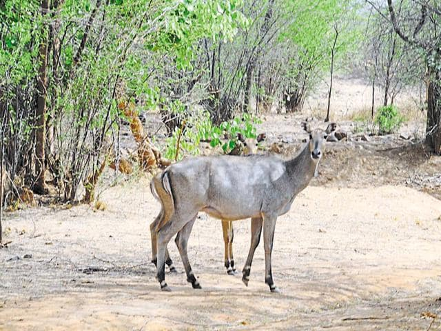 As per a count taken in 2011, Nilgais were spotted 145 times in the Aravallis.