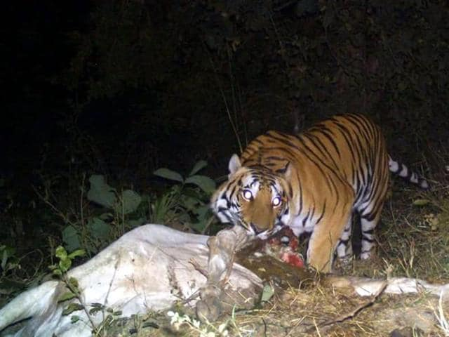 The Bhopal forest division has stepped up patrolling in the forests around Kerwa and Kaliasot after fresh evidence of a kill made by a tiger came to light.