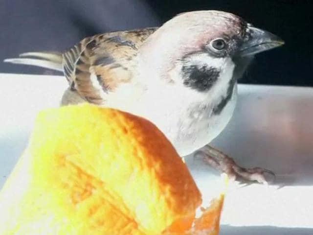 sparrow as pet,Japan,sparrow