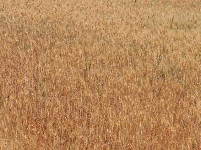 According to Indian Agricultural Research Institute, the area under cultivation of durum wheat in MP has increased nearly seven-fold in five years.