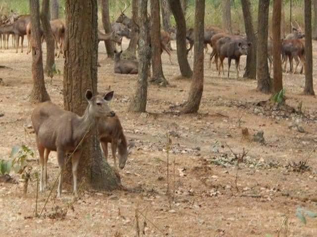 Green cover and wildlife population in Jharkhand's sanctuaries are under threat.